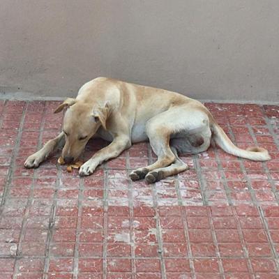 kitu street dog